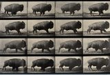 Eadweard Muybridge, A buffalo walking, 1887, 23 x 35 cm, Wellcome Library di Londra
